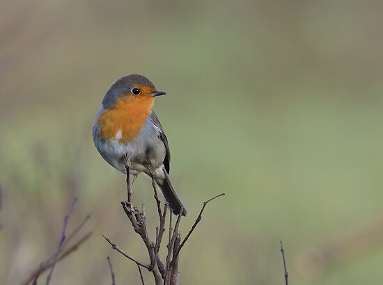 European Robin - I by Peter Wiggerman