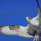 Osprey Grace and Beauty by Deborah  Benoit