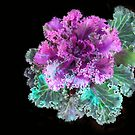 Colorful Cabbage by heatherfriedman