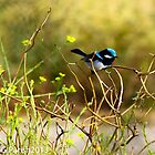 Blue Fairy Wren by Guyzimijz
