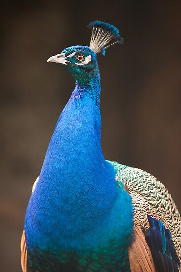 Male Indian Peafowl by Dominika Aniola