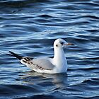 Black Headed Gull in Winter Plumage by Tom Curtis