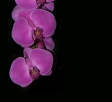 Cascading Purple Orchids on Black by Lisa Knechtel
