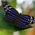 Butterfly Beauty by vette