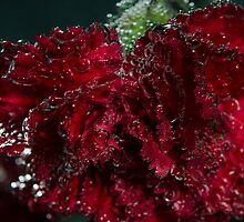 Red Bubble Carnation  by Nicole  Markmann Nelson