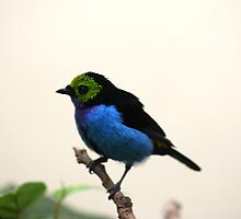 Blue Belly Bird by Nickolas Lormand
