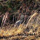 Heron Behind The High Grass by Rick  Friedle