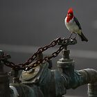 Red Crested Cardinal by mhm710