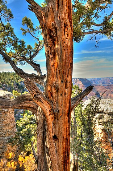 Tree Of Ages In The Grand Canyon by Diana Graves Photography