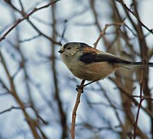 Long Tailed-Tit by VoluntaryRanger