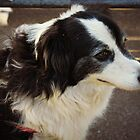 Tibby The Border Collie  by Staffaholic