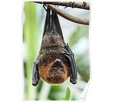 Rodrigues Fruit Bat Poster