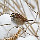 White-Throated Sparrow - Zonotrichia albicollis  by MotherNature
