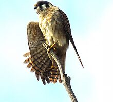Master Kestral Stretch by Bunny Clarke