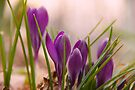 Crocus 2 by NatureGreeting Cards ©ccwri