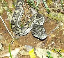 Carpet Snake by MardiGCalero