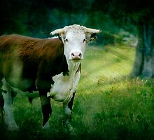 A Steer Stare by Clare Colins