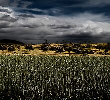 onion field with dramatic sky by PhotoStock-Isra