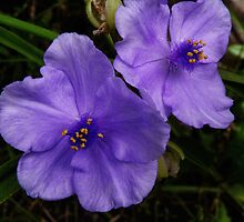 Spiderwort by PineSinger