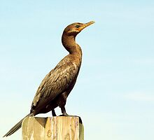 cormorant by Robert Brown