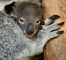 Koala Joey by Mark Cooper