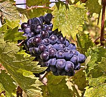 Grapes of Chianti by LacoHubaty