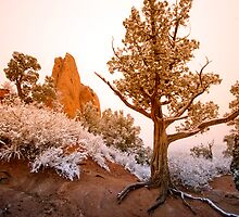 Garden of The Gods Juniper in Winter by WestbrookArts