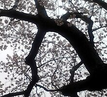 Washington D.C. - Cherry Blossoms by dunesanddesires