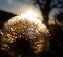 DANDELION PUFF BALL (2) by Sandra  Aguirre