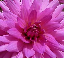 Dahlia - pink by Evelyn Laeschke