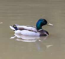 Duck in dirty water by mjamil81