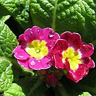 Raindrop Jewels On Sunlit Primroses by BlueMoonRose