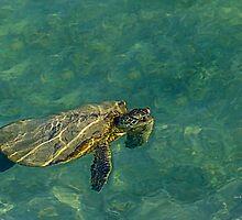 Turtle by Julia Harwood