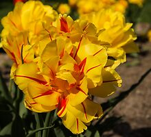 Showy Sunny Yellow Tulips by Georgia Mizuleva