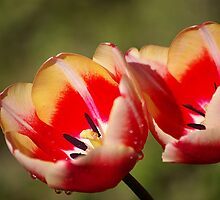 Wet Tulip Flowers by Galind