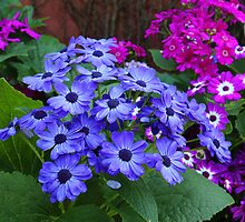 Cineraria Flowers by Jill Patterson