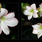 An Amaryllis Assembly by WalnutHill