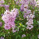 Lilacs by Ann Warrenton