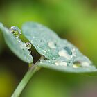 Raindrops on Woodsorrel by Mariola Szeliga