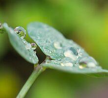 Raindrops on Woodsorrel by Mariola Szeliga