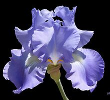 Sheer Elegance ~ This Iris by SummerJade