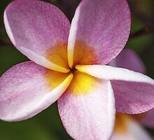 Frangipani Flower by Monosquid