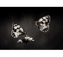 Marbled Whites Photographic Print