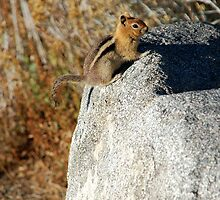 Golden-mantled Ground Squirrel by Jared Manninen