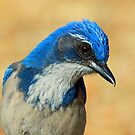 Profile of a Western Scrub Jay by jozi1