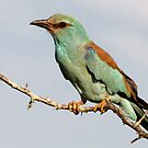 European Roller by Jennifer Sumpton