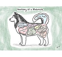 Anatomy of a Malamute Photographic Print