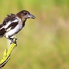 Baby Butcher Bird  by Trish Threlfall