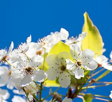 Tree flowers by PhotoMel