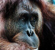 Orang-utan contemplation by Darren Bailey LRPS